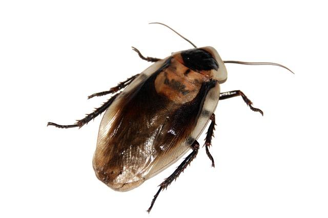 Désinsectisation : Traitement contre les blattes et extermination des cafards, insectes piquants,
